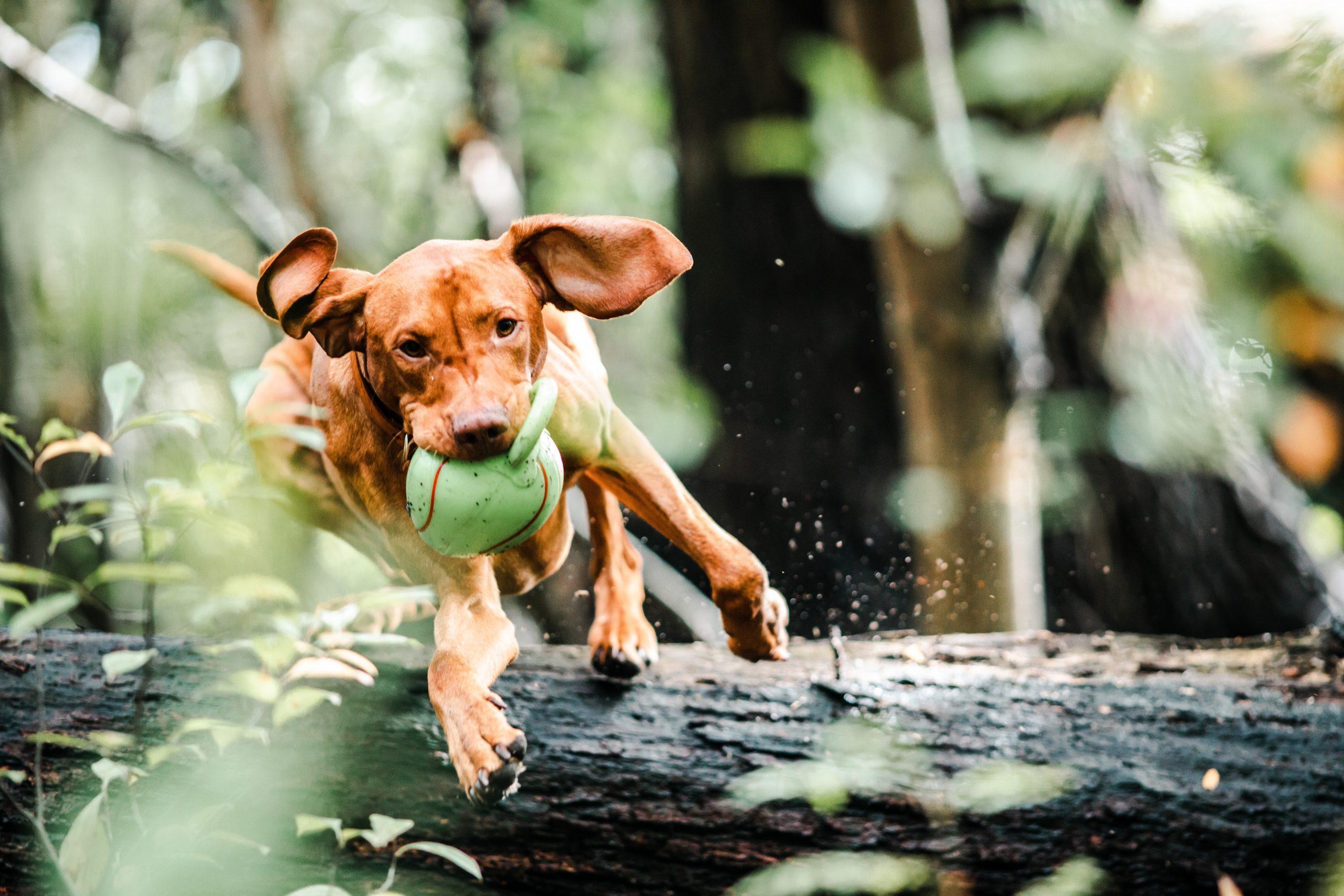 CBD Oil for Dogs FAQ