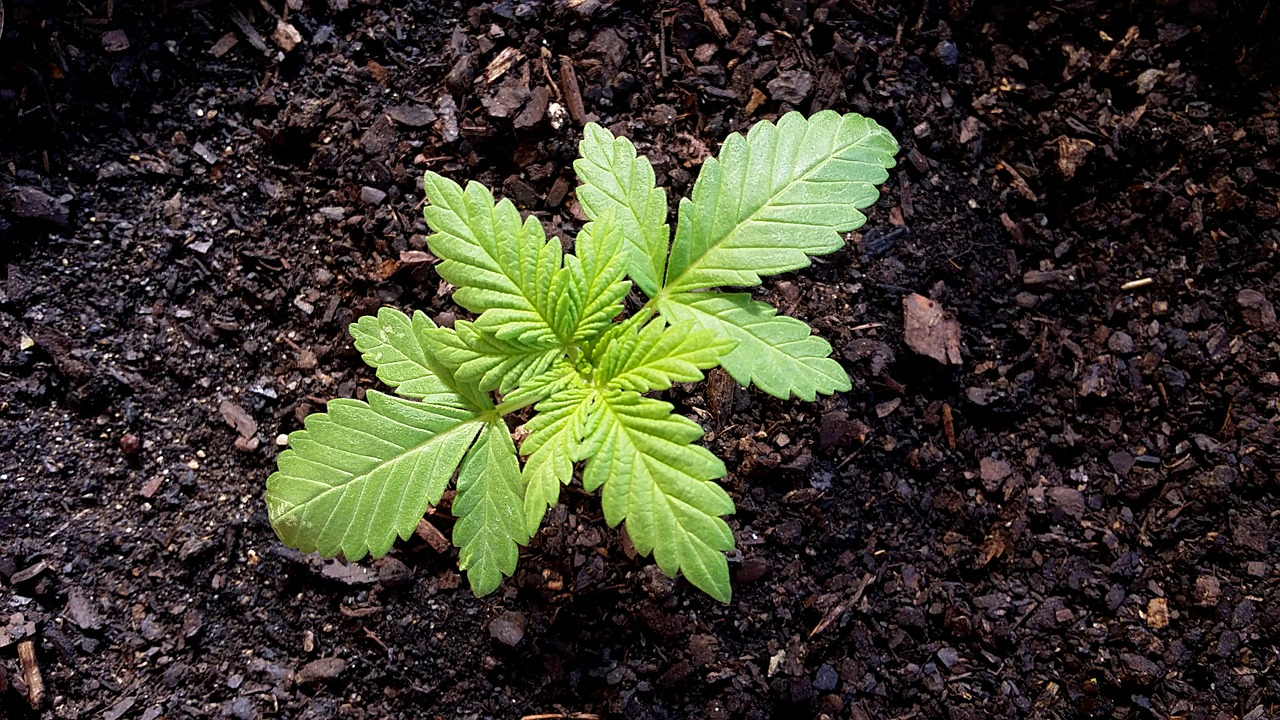 Top 7 Health Benefits of Cannabis Everyone Should Know